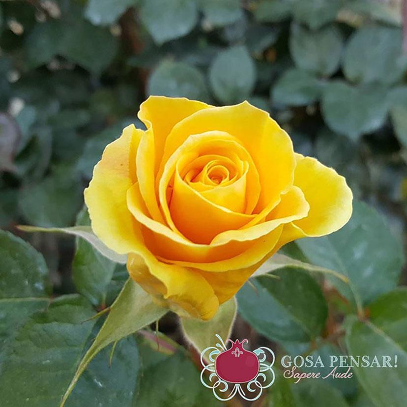 rosa-groga-logo